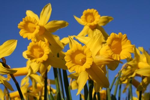 Gula påskliljor mot blå himmel