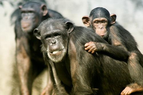 chimpanshona med unge