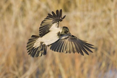 Fågel som tycks flyga baklänges
